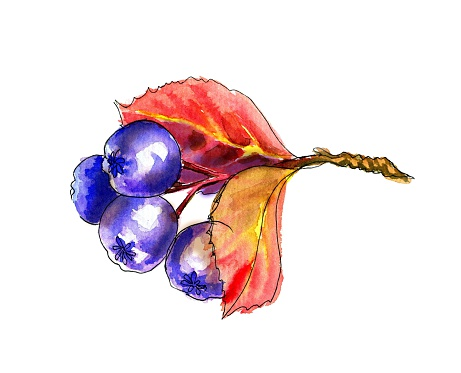 Aronia Clip Art, Vector Images & Illustrations.