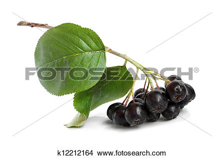 Stock Photo of Black chokeberry k12212164.