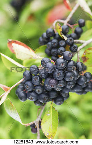 Stock Photo of Wild Aronia (Chokeberry) (melanocarpa); Queenstown.