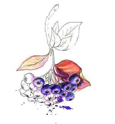 Aronia Clip Art, Vector Images & Illustrations.