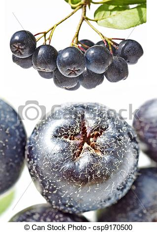 Stock Photography of chokeberry,Aronia melanocarpa csp9170500.
