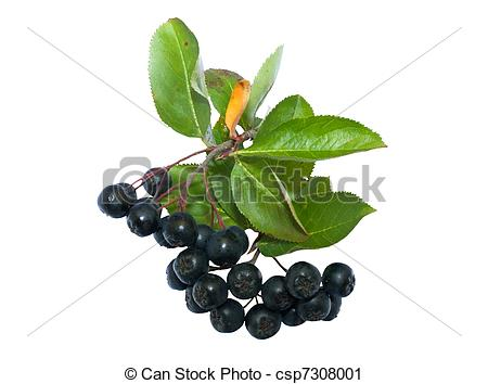 Stock Photography of Black chokeberry with white.