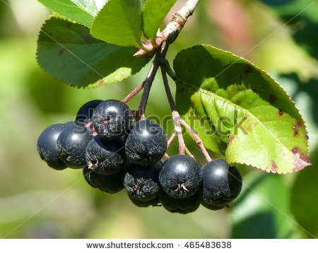 Aronia Bush Stock Photos, Royalty.