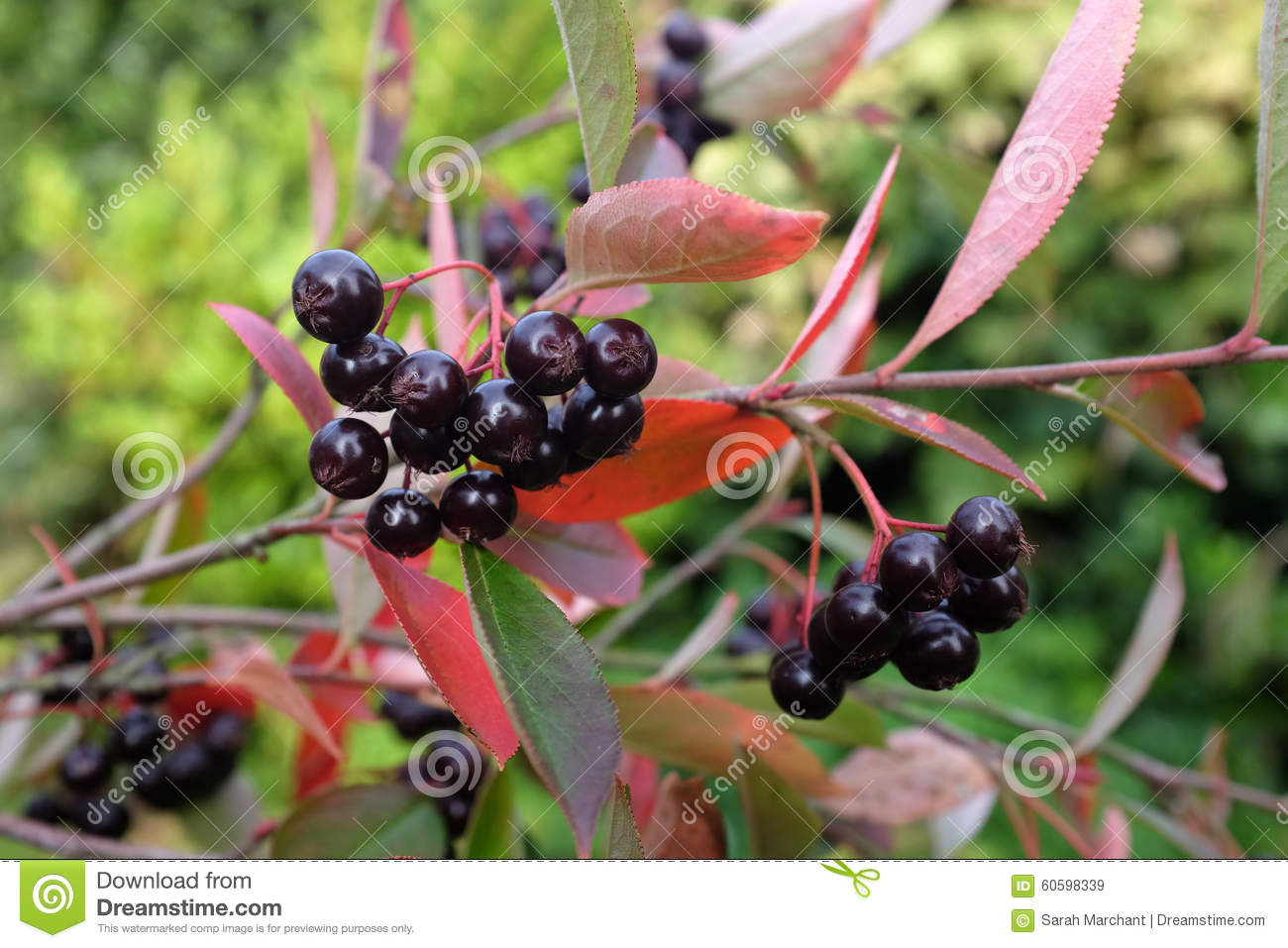 Chokeberry Plant With Dark Red Berries Stock Photo.