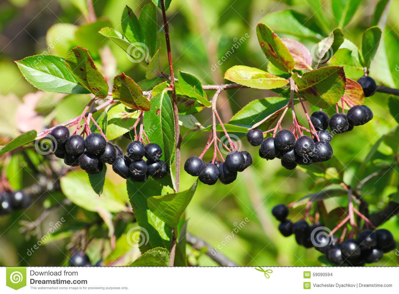 Black Aronia Berry Quince Growing Brush And Hidden Green Foliage.