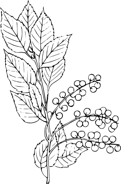 Chokecherry Clip Art at Clker.com.