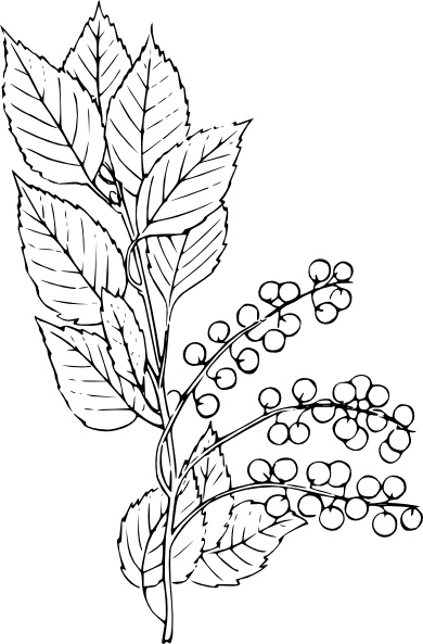 Chokecherry clip art Free vector in Open office drawing svg ( .svg.