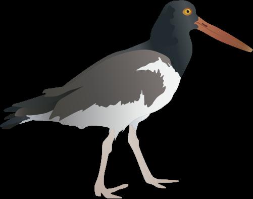 Haematopus palliatus (American Oystercatcher).
