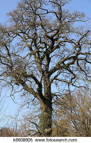 Stock Image of Old oak tree, near of the Chorin Abbey in Germany.