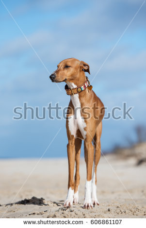 African Sighthound Stock Images, Royalty.