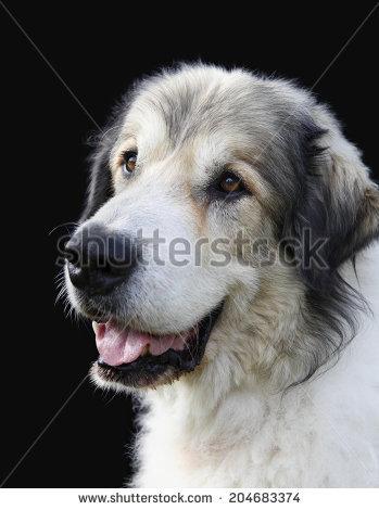 Beautiful Borzoi Hound Dog Head Profile Stock Photo 13853293.