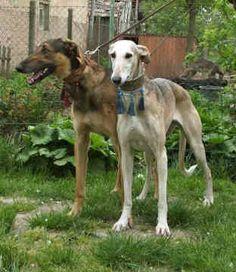 POLISH GREYHOUND/CHART POLSKI #Sighthounds #Greyhounds #Dogs.