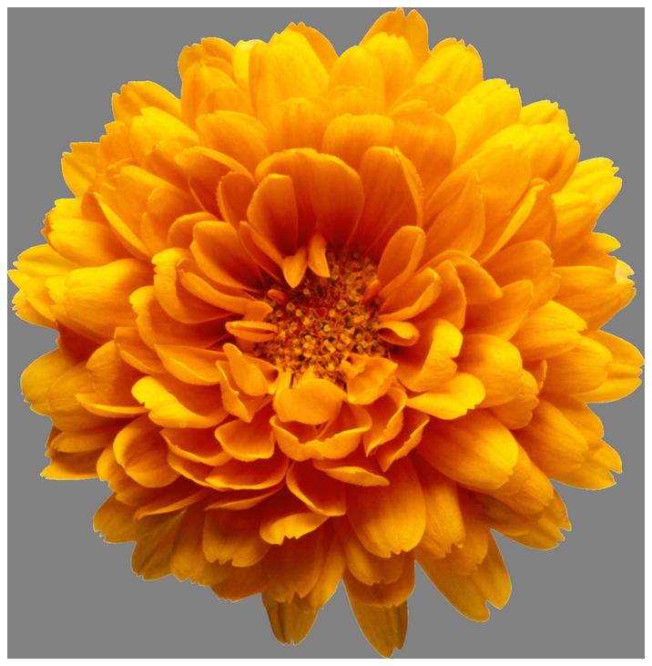 Orange Chrysanthemum Flower Transparent Clip Art Image.