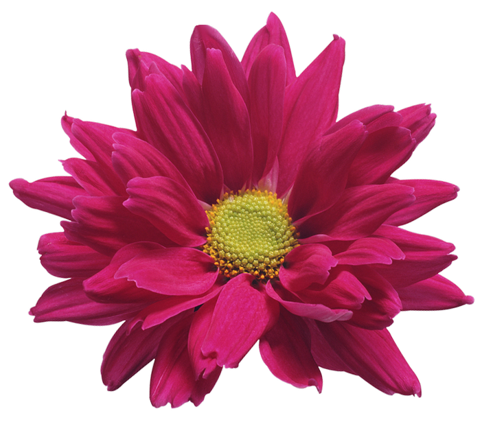 Pink Chrysanthemum Flower Transparent Clip Art Image.
