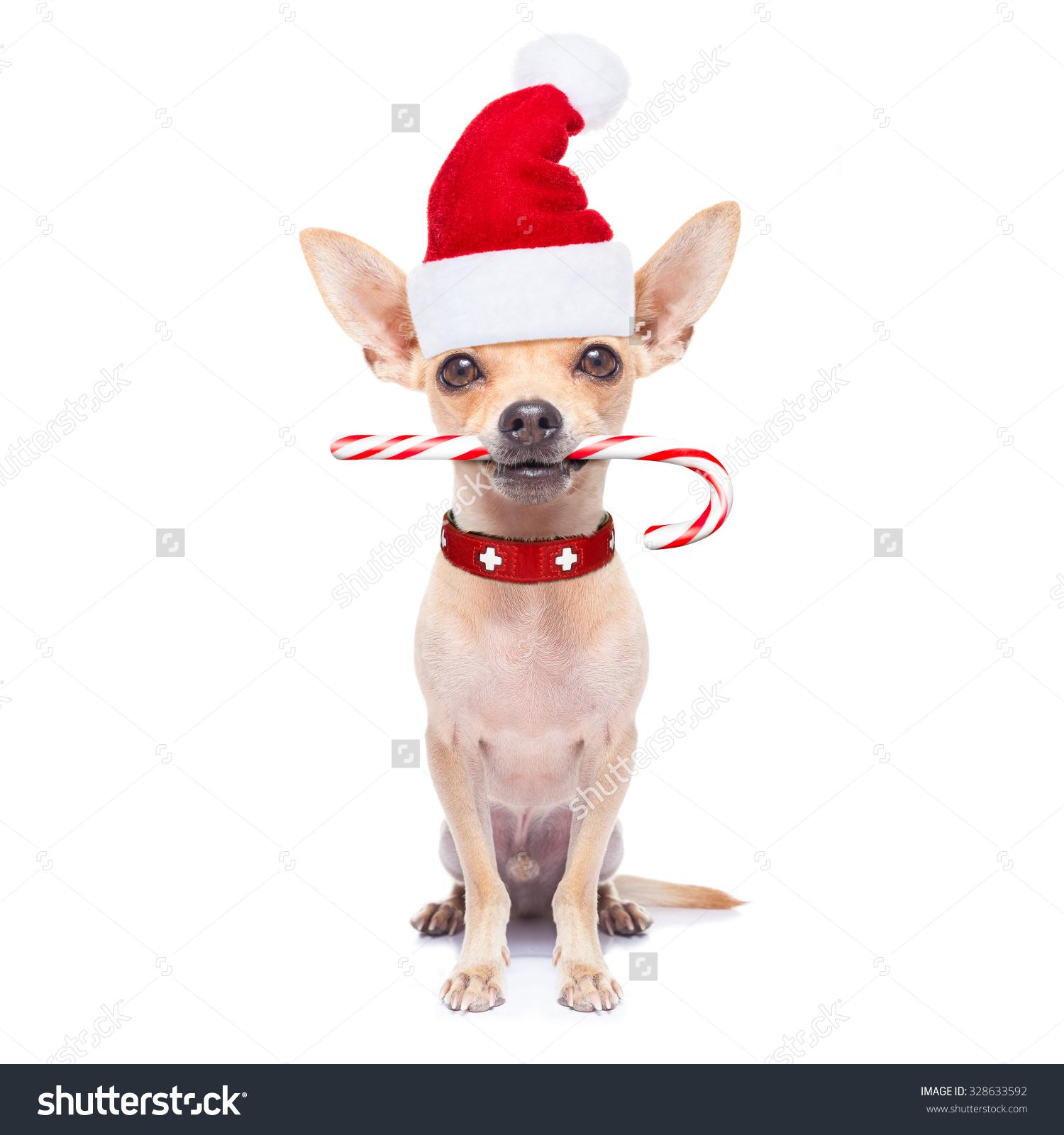 Chihuahua Santa Claus Dog Sugar Candy Stock Photo 328633592.