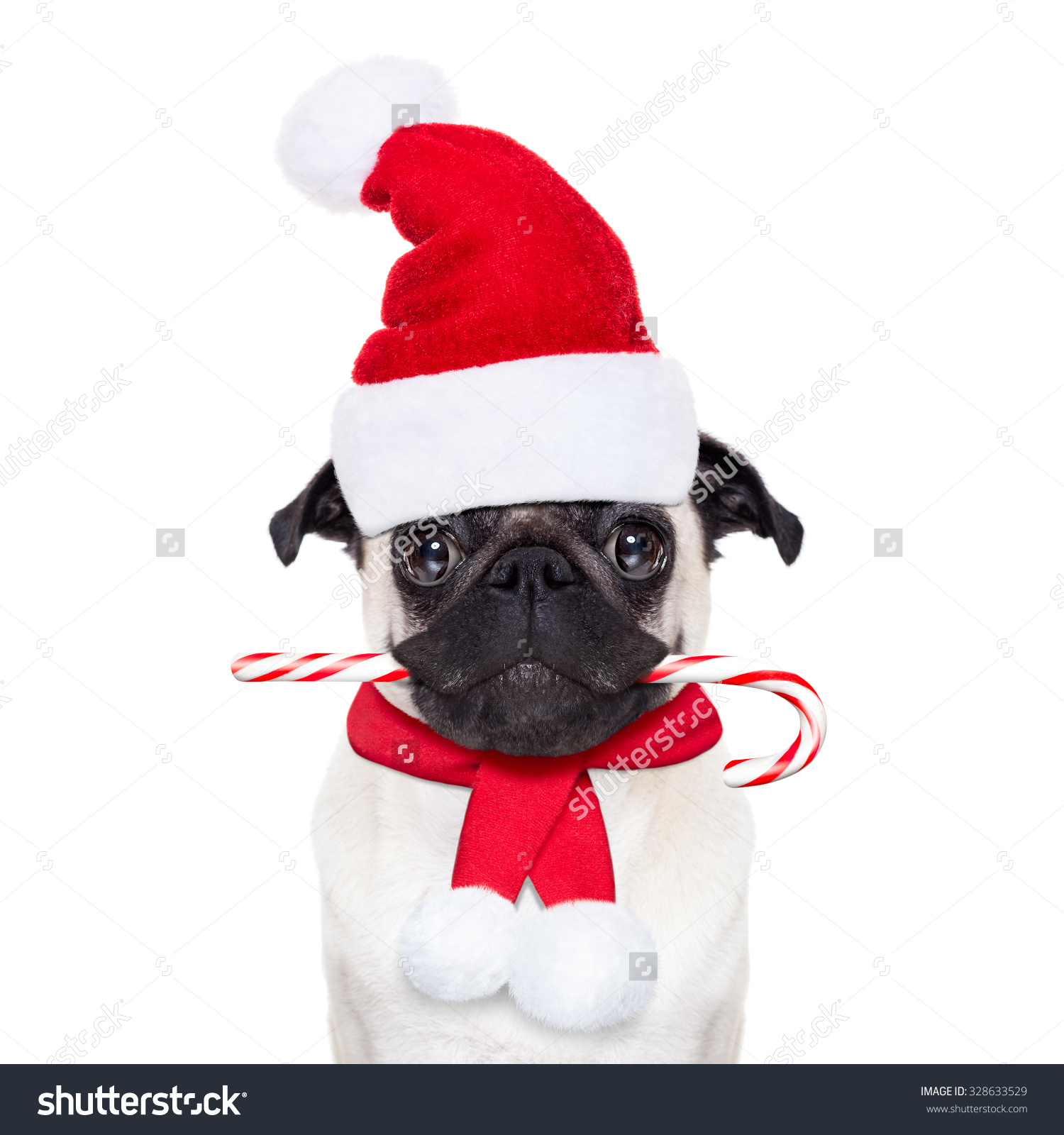 Pug Dog As Santa Claus With A Sugar Candy Cane In Mouth, Isolated.