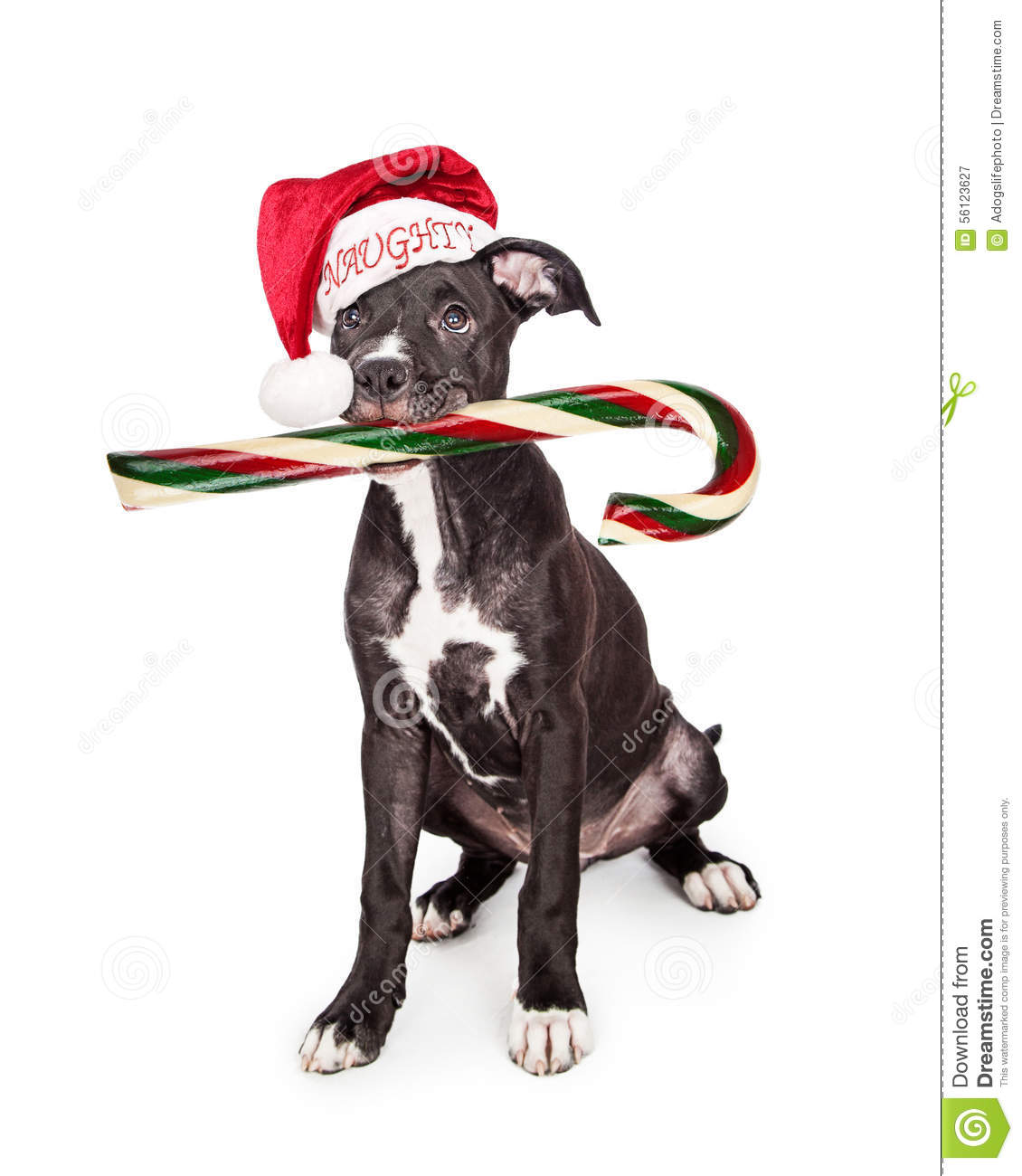 Naughty Christmas Puppy Eating Candy Cane Stock Photo.