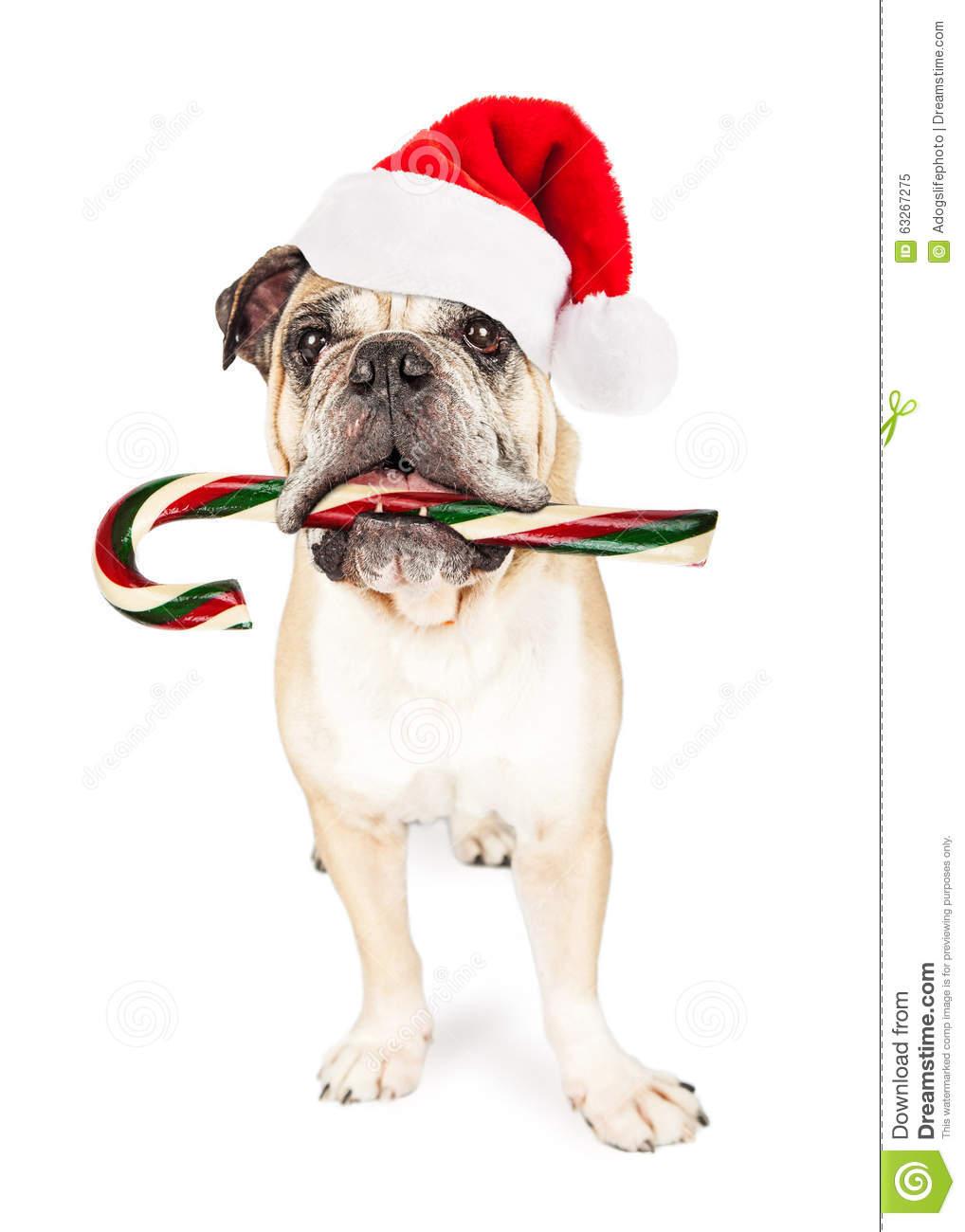 Christmas Bulldog Eating Candy Cane Stock Photo.