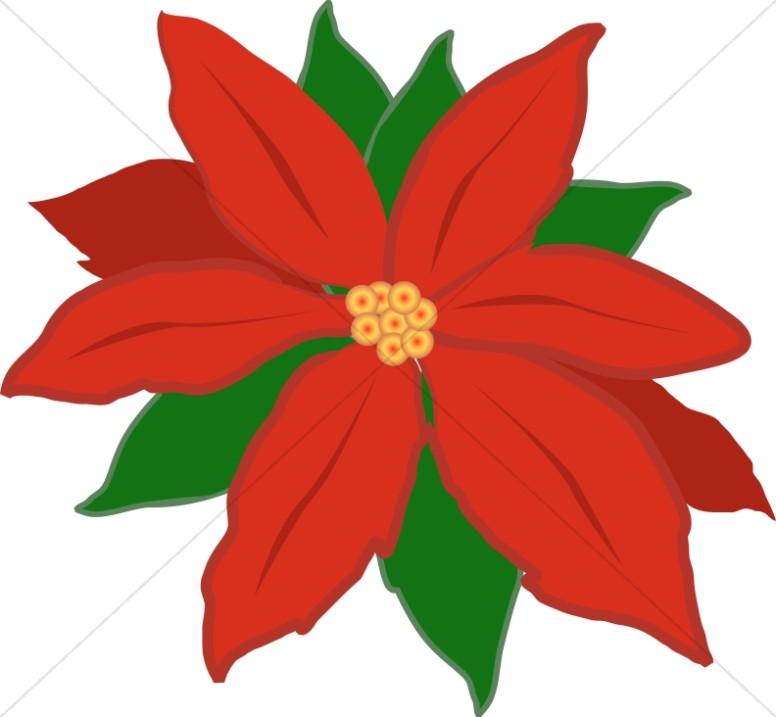 Red Poinsettia Flower.