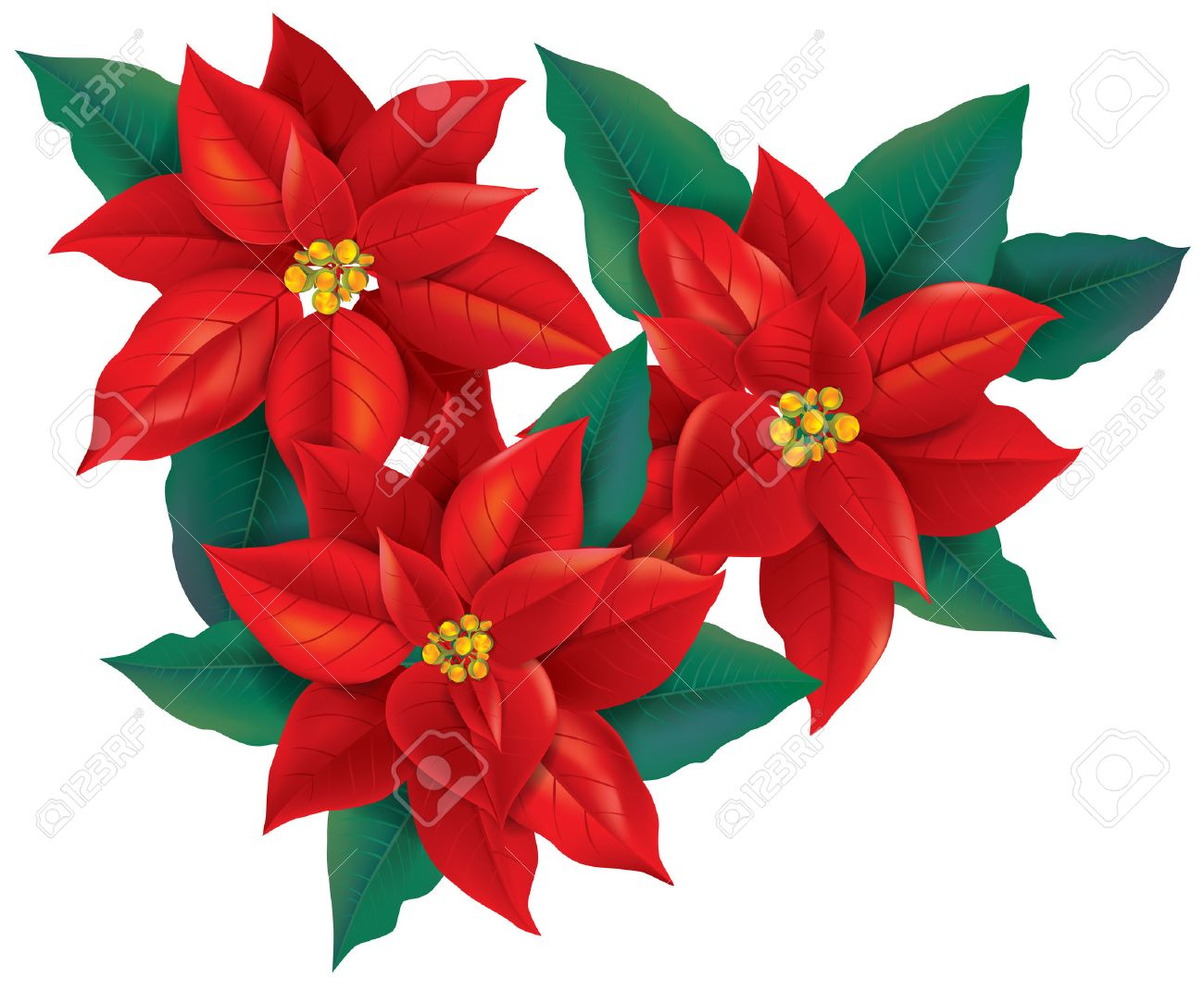 Red Poinsettia christmas flower. Contains transparent objects.