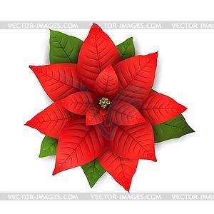 Poinsettia Christmas flower.