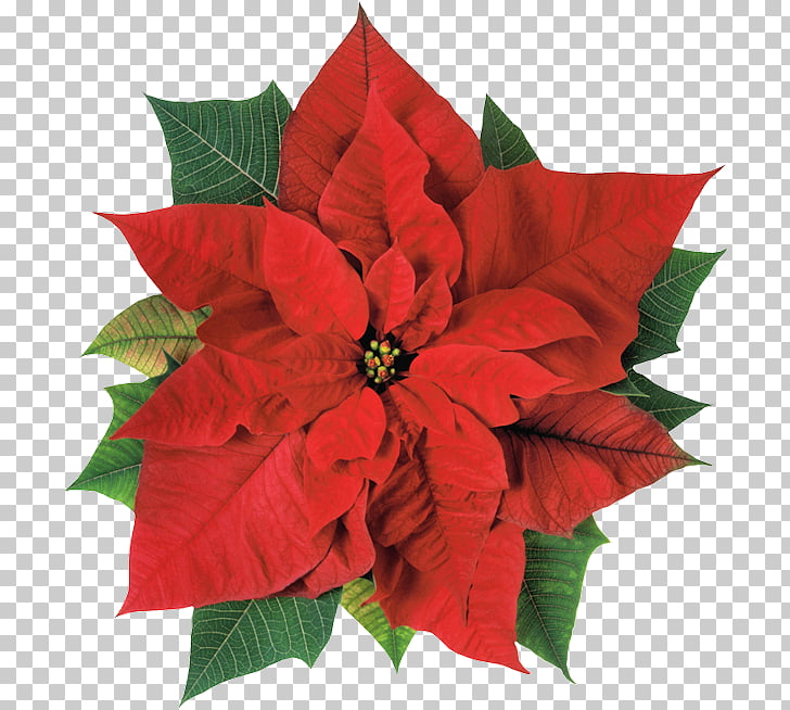Poinsettia Christmas Flower Joulukukka , christmas PNG.