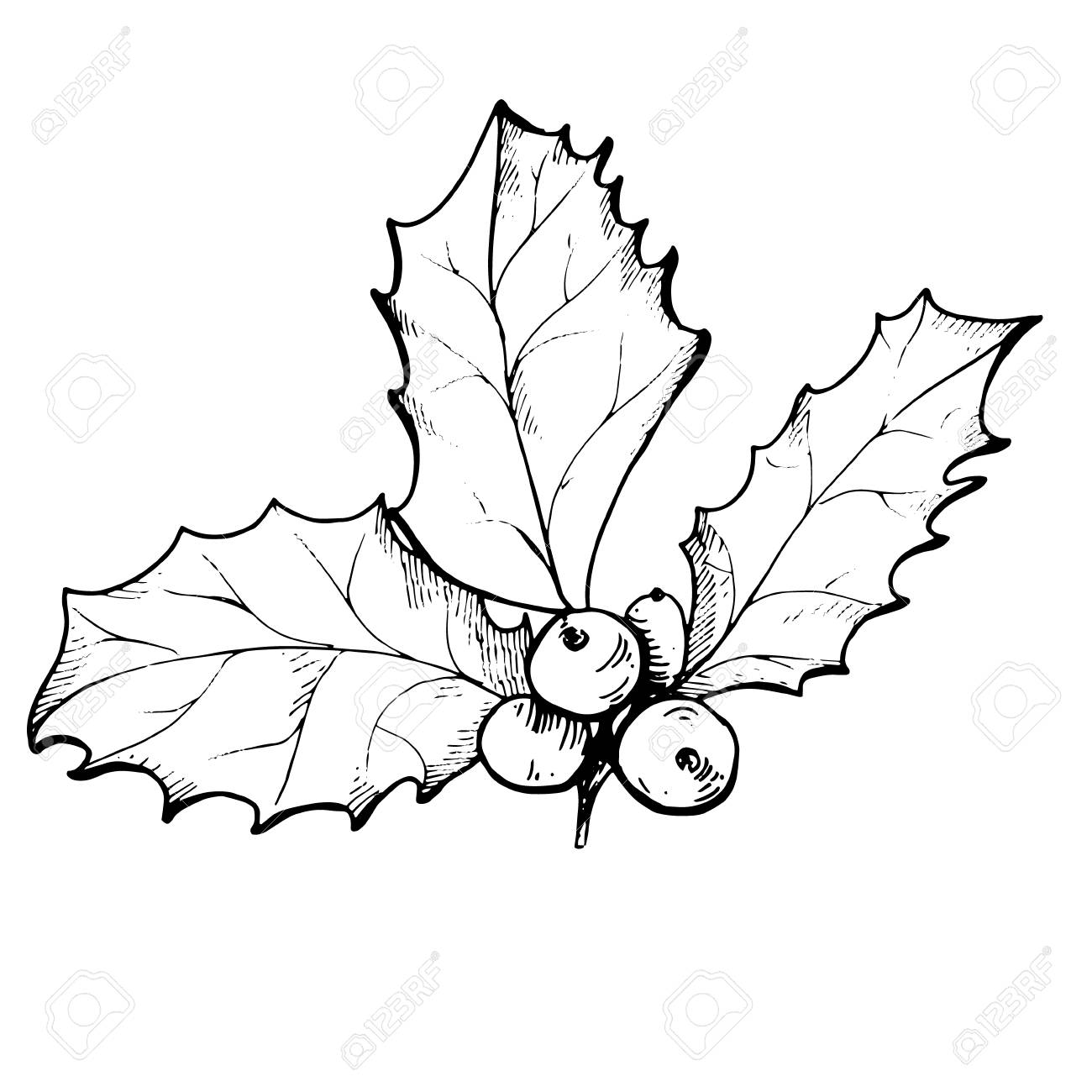 Vector linear drawing of Christmas holly berry isolated.