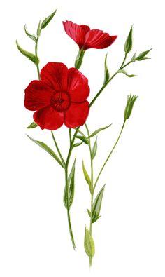 Christmas rose clip art, vintage flower illustration, Christmas.