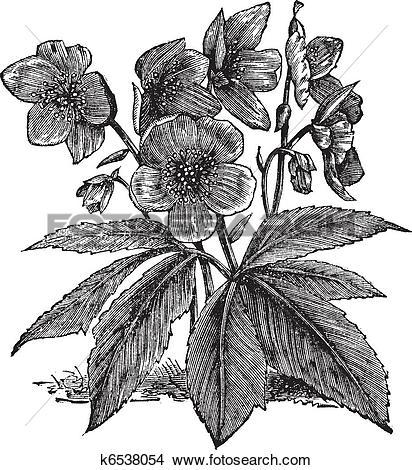 Clipart of Black Hellebore or Christmas Rose or Helleborus niger.