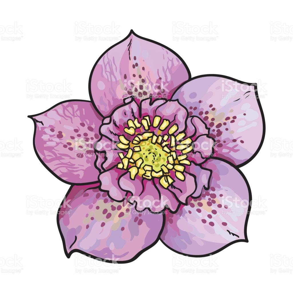 Hellebore Christmas Rose Single Purple Flower Top View stock.