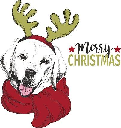 Labrador retriever dog wearing deer horn scarf. Christmas.