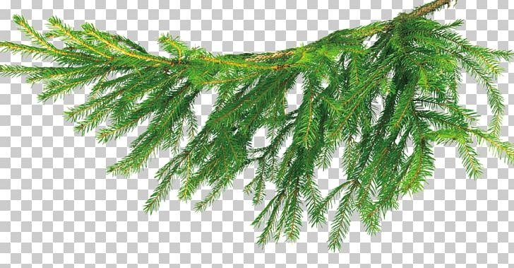 Christmas Tree Бычиха Branch PNG, Clipart, Branch, Branches, Child.