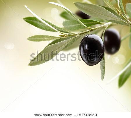 Olives Black Ripe Olive On Tree Stock Foto 151743989.