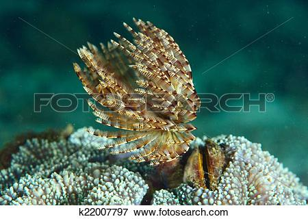 Picture of Christmas Tree Worm live on hard coral/tube worm.