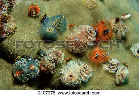 Stock Images of Christmas tree worms (Spirobranchus giganteus.