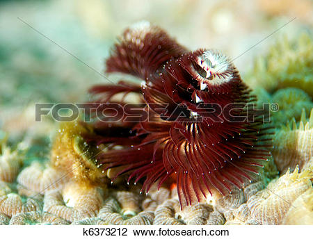 Stock Photo of Christmas Tree Worm on giant star coral. k6373212.