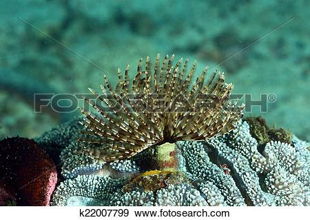 Stock Photograph of Christmas Tree Worm live on hard coral/tube.