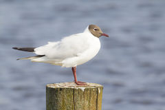 Black Headed Gull Chroicocephalus Ridibundus Stock Photos, Images.