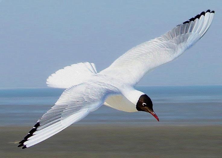 Black headed Gull Chroicocephalus ridibundus.