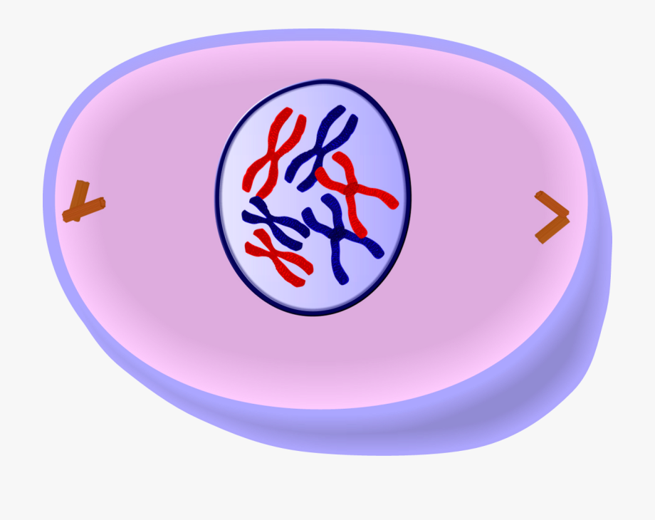 Early Prophase Of Mitosis.