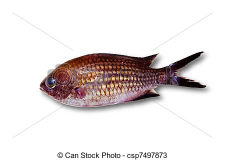 Stock Photos of Chromis chromis Damselfish rock fish isolated on.