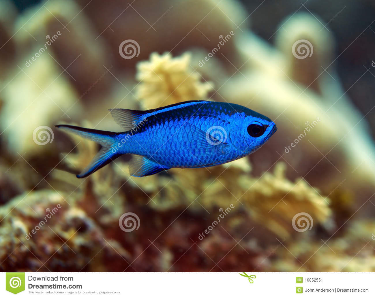 Blue Chromis Fish Stock Image.