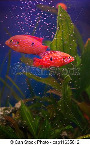 Stock Photography of Chromis cichlid with fry in the aquarium on.