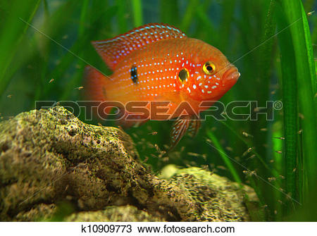 Stock Photo of Chromis in a tank with fry k10909773.