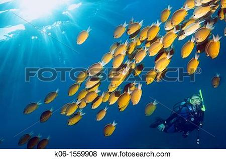 Pictures of Diver with Damselfish Chromis cf analis Indonesia k06.