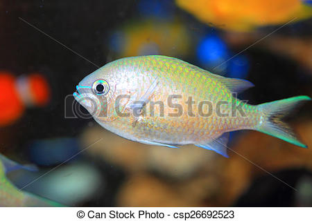 Stock Photo of Blue green chromis (Chromis viridis) in Japan.