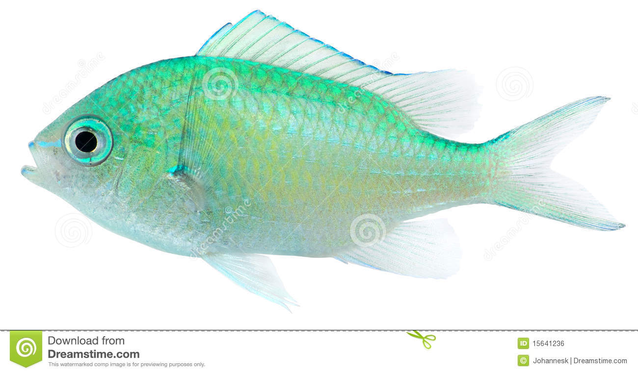 Green Chromis (Chromis Viridis) Royalty Free Stock Image.