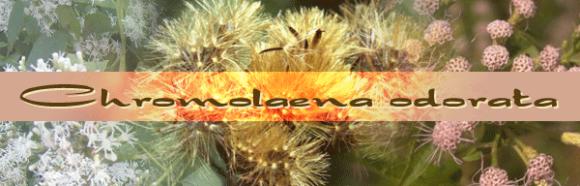 Chromolaena odorata.