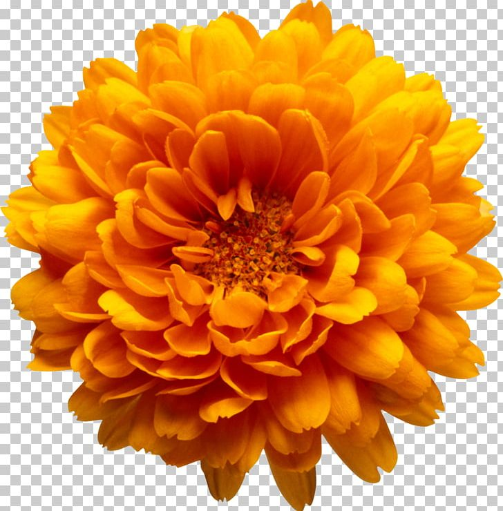 Chrysanthemum Marriage Make Up Flower Book PNG, Clipart.