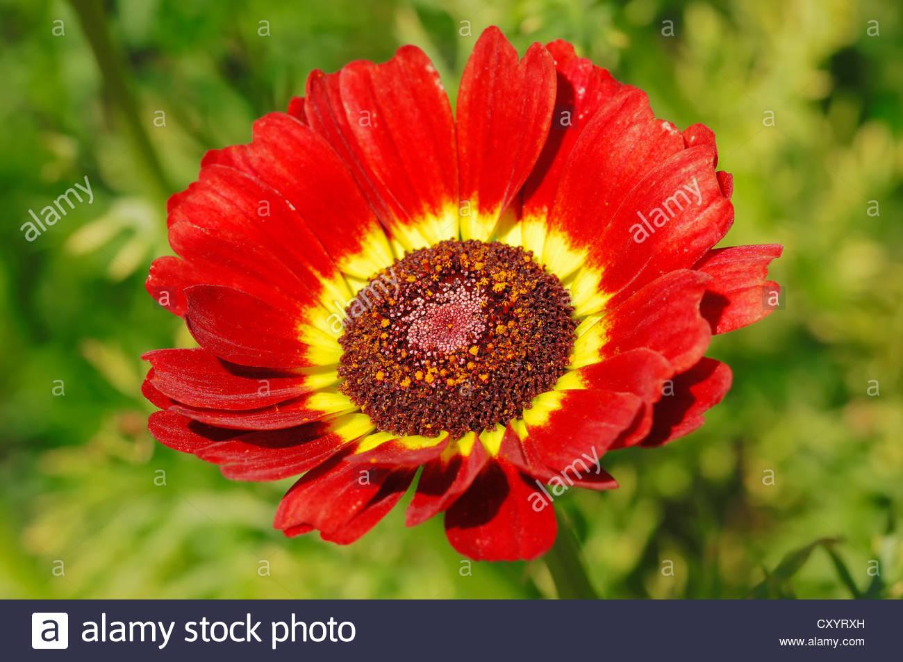 Painted Daisy Flower Stock Photos & Painted Daisy Flower Stock.